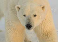 polar-bear-995-cape-churchill-copyright-photographers-on-safari-com