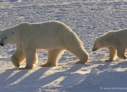 polar-bear-996-cape-churchill-copyright-photographers-on-safari-com