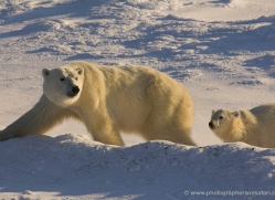 polar-bear-997-cape-churchill-copyright-photographers-on-safari-com