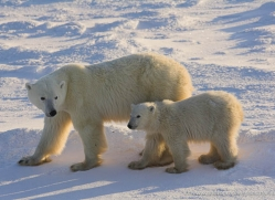 polar-bear-998-cape-churchill-copyright-photographers-on-safari-com