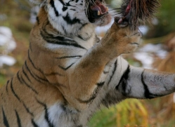 amur-tiger-4203-capercaille-copyright-photographers-on-safari-com