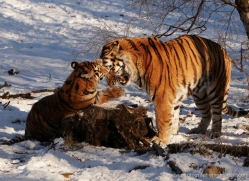 amur-tiger-4208-capercaille-copyright-photographers-on-safari-com