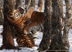 amur-tiger-4210-capercaille-copyright-photographers-on-safari-com
