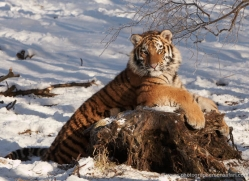 amur-tiger-4212-capercaille-copyright-photographers-on-safari-com