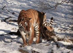 amur-tiger-4213-capercaille-copyright-photographers-on-safari-com