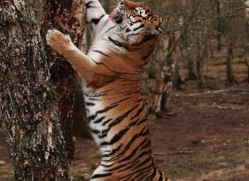 amur-tiger-4215-capercaille-copyright-photographers-on-safari-com
