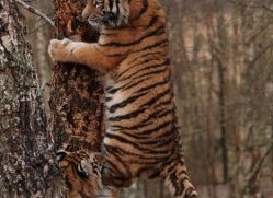 amur-tiger-4218-capercaille-copyright-photographers-on-safari-com