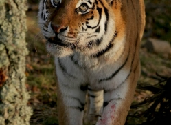 amur-tiger-4221-capercaille-copyright-photographers-on-safari-com