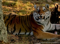 amur-tiger-4222-capercaille-copyright-photographers-on-safari-com