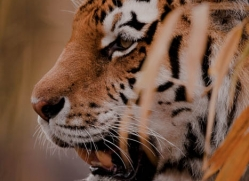 amur-tiger-4224-capercaille-copyright-photographers-on-safari-com