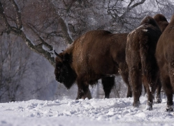 bison-4229-capercaille-copyright-photographers-on-safari-com