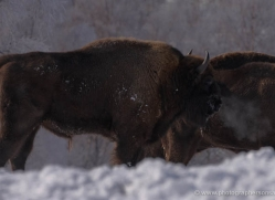 bison-4231-capercaille-copyright-photographers-on-safari-com