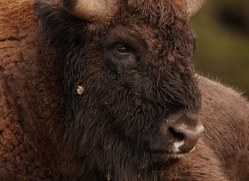 bison-4234-capercaille-copyright-photographers-on-safari-com