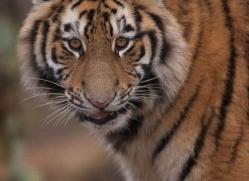 amur-tiger-4205-capercaille-copyright-photographers-on-safari-com