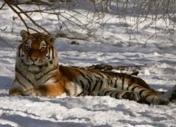 amur-tiger-4206-capercaille-copyright-photographers-on-safari-com