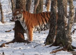amur-tiger-4211-capercaille-copyright-photographers-on-safari-com