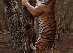amur-tiger-4217-capercaille-copyright-photographers-on-safari-com