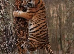 amur-tiger-4218-capercaille-copyright-photographers-on-safari-com