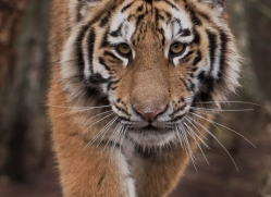 amur-tiger-4219-capercaille-copyright-photographers-on-safari-com