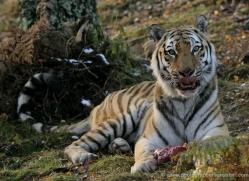 amur-tiger-4220-capercaille-copyright-photographers-on-safari-com