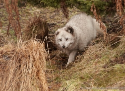 arctic-fox-4241-capercaille-copyright-photographers-on-safari-com