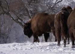 bison-4229-capercaille-copyright-photographers-on-safari-com