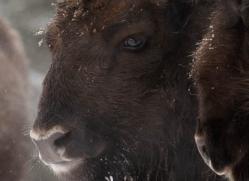 bison-4232-capercaille-copyright-photographers-on-safari-com