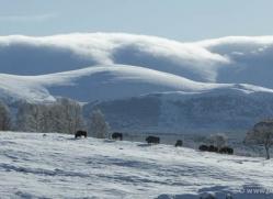 bison-4237-capercaille-copyright-photographers-on-safari-com