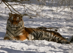 amur-tiger-4206-capercaille-copyright-photographers-on-safari-com