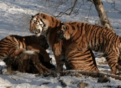 amur-tiger-4207-capercaille-copyright-photographers-on-safari-com
