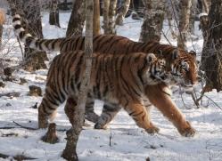 amur-tiger-4209-capercaille-copyright-photographers-on-safari-com