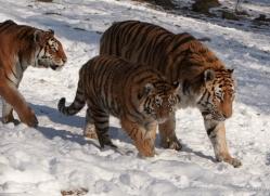 amur-tiger-4214-capercaille-copyright-photographers-on-safari-com