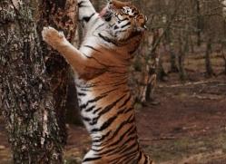 amur-tiger-4215-capercaille-copyright-photographers-on-safari-com
