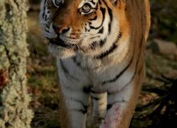 amur-tiger-4221-capercaille-copyright-photographers-on-safari-com