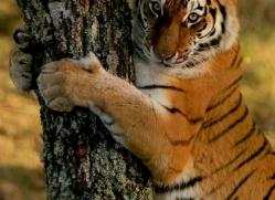 amur-tiger-4223-capercaille-copyright-photographers-on-safari-com