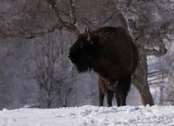bison-4230-capercaille-copyright-photographers-on-safari-com