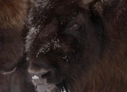 bison-4235-capercaille-copyright-photographers-on-safari-com