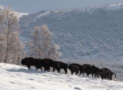 bison-4240-capercaille-copyright-photographers-on-safari-com