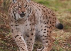 lynx-4239-capercaille-copyright-photographers-on-safari-com
