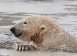 polar-bear-4246-capercaille-copyright-photographers-on-safari-com