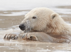 polar-bear-4249-capercaille-copyright-photographers-on-safari-com
