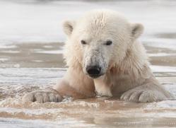polar-bear-4250-capercaille-copyright-photographers-on-safari-com