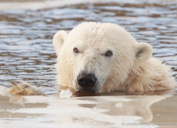 polar-bear-4256-capercaille-copyright-photographers-on-safari-com