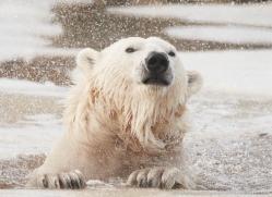 polar-bear-4260-capercaille-copyright-photographers-on-safari-com
