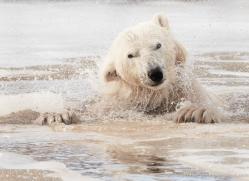 polar-bear-4266-capercaille-copyright-photographers-on-safari-com