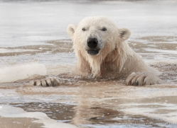 polar-bear-4267-capercaille-copyright-photographers-on-safari-com