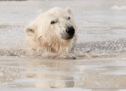 polar-bear-4268-capercaille-copyright-photographers-on-safari-com
