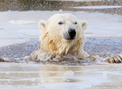 polar-bear-4270-capercaille-copyright-photographers-on-safari-com