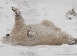 polar-bear-4271-capercaille-copyright-photographers-on-safari-com