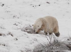 polar-bear-4274-capercaille-copyright-photographers-on-safari-com